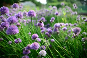 Chives Recipe Roundup + Chive Blossoms