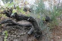 Vier Tage in Ghalat bei Shriaz: Hier ein Weinbaum