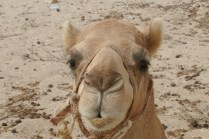Kollege Kamel