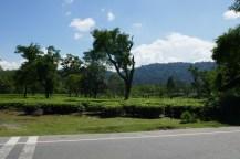 Teeplantage im Flachland, Masse statt Klasse. Guten Assam-Tee gibt es im Teegeschäft zum Kilopreis von 7 Euro.