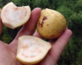 Es gibt eine neue Liebslingsfrucht: Guave, frisch vom Baum. Großartig.