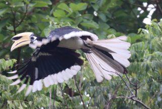 Klasse Vogel, so'n Hornbill im Flug.