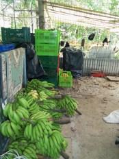 Bananas to vend
