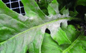 Powdery Mildew on gerbera leaf (Photo credit: A.R. Chase and Aaron J. Palmateer)