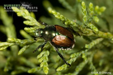 japanese beetle_dave