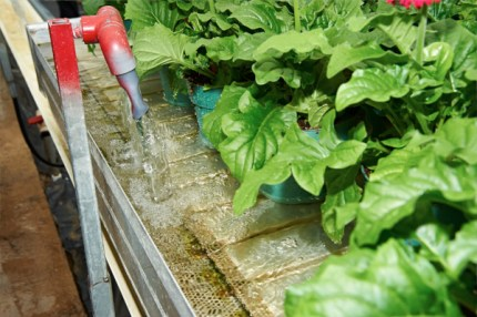 Subirrigation in a dutch tray of gerbera plants