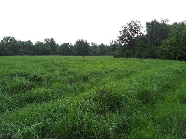 Switchgrass crop in Campbellton Ontario, mid-summer