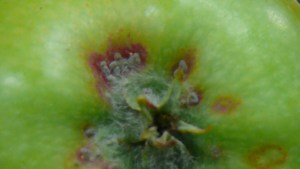 SJS damage on fruit