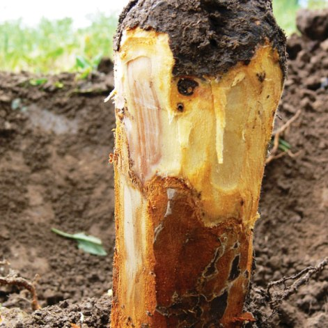 Figure 1b. Phytophthora can appear as reddish-orange canker with a distinct margin.