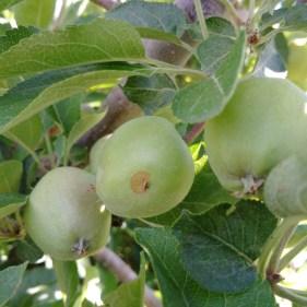 Figure 12. Plum curculio injury on apple.