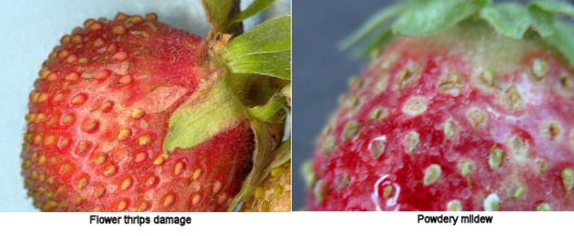 PM vs thrips