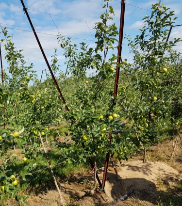 Figure 4: 'Honeycrisp' planted on a V-trellis at Riveridge Land Company.