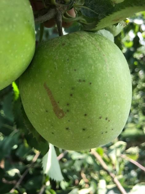 Figure 8. Blister spot on Mutsu apple.