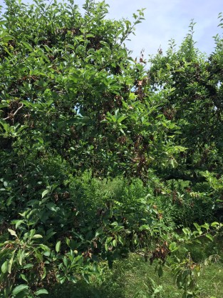 several fire blight strikes on a mature tree (Ida Red)