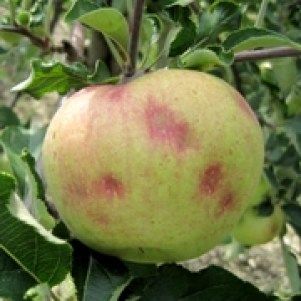 BMSB damage to apple -discolour depressions. T. Leskey and T. Hancock