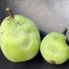 BMSB damge on pear - external. P. Shearer