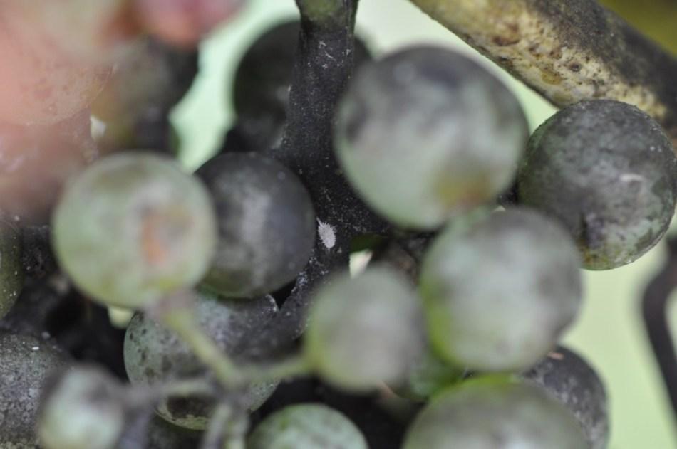 Mealybug in cluster
