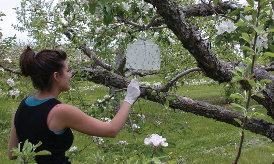 Picture of woman hanging white sticky trap in apple tree