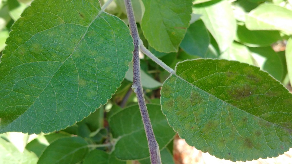 Early apple scab lesions on top side of leaves