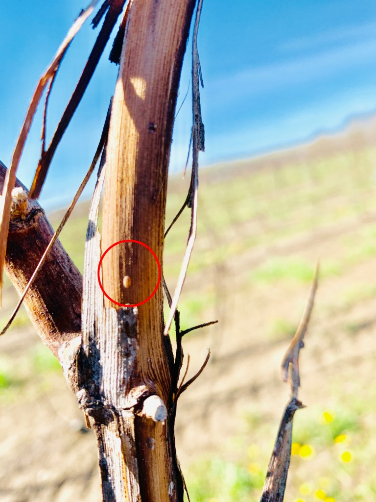 A small oval pinkish orange crawler circled in red in the centre of a cane with the bark peeled back to expose it.