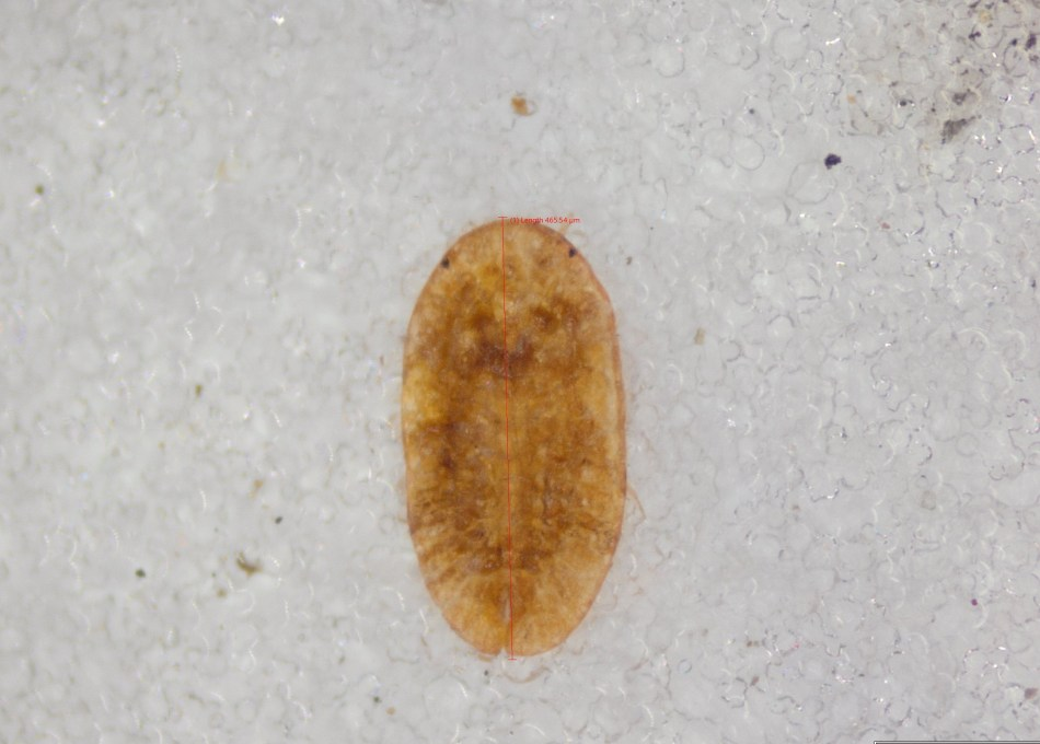 Yellowish brown oval scale, 0.5 mm long