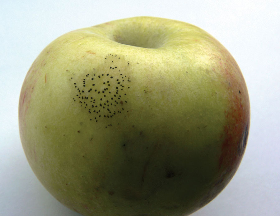 Fly speck on apple