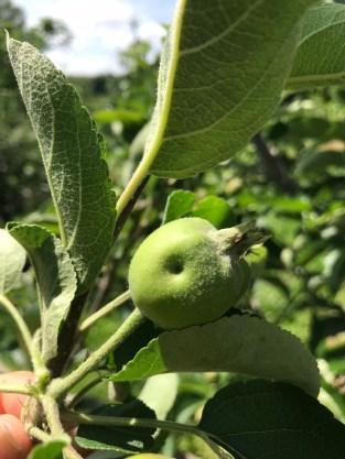 Tarnished plant bug damage on apple fruitlet