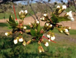 Branch of tart cherry with blossoms at popcorn stage.  Red arrows point to small bract leaves/