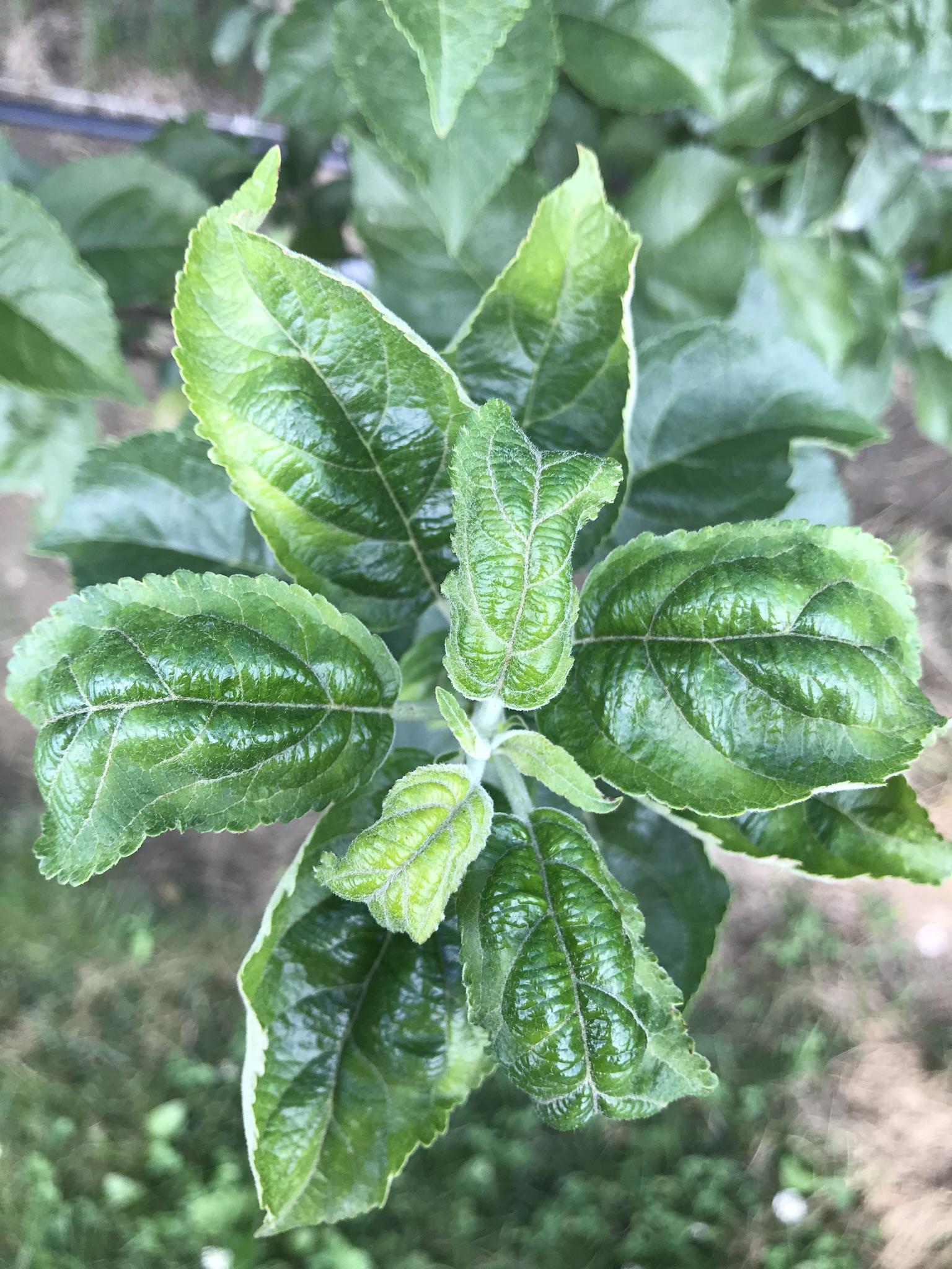 Potato leafhopper damage to apple terminal
