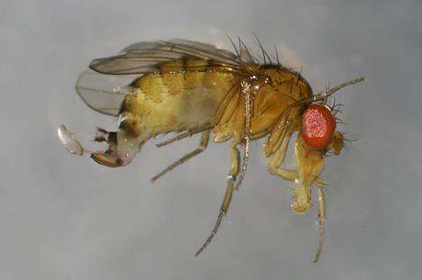 Spotted wing drosophila female with serrated ovipositor