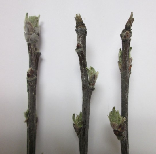 Healthy (left) and powdery mildew infected (right) apple buds.