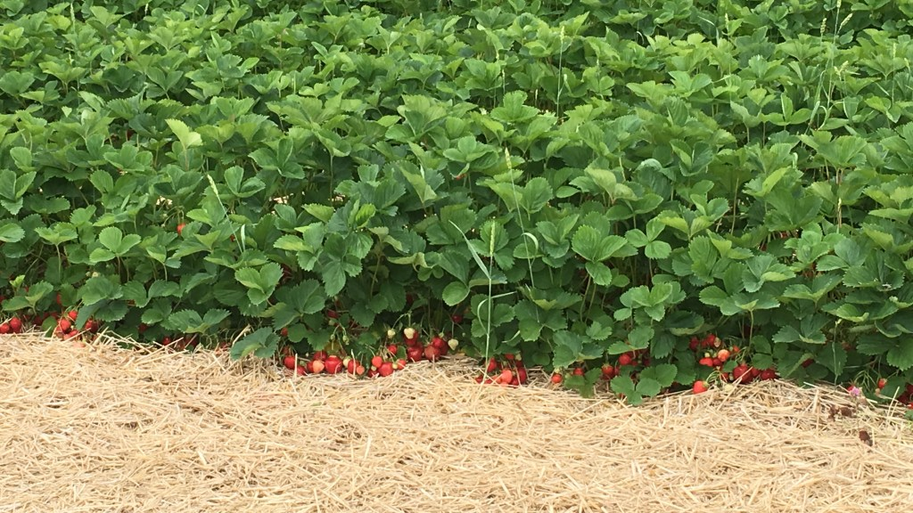 Ripe berries can be seen in this June-bearing strawberry field.