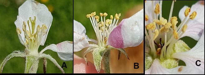 Three pictures of apple blooms, the first apple blossom is healthy showing both styles and anthers, the second picture shows a blossom with no styles and the third picture is a close up photo showing black styles