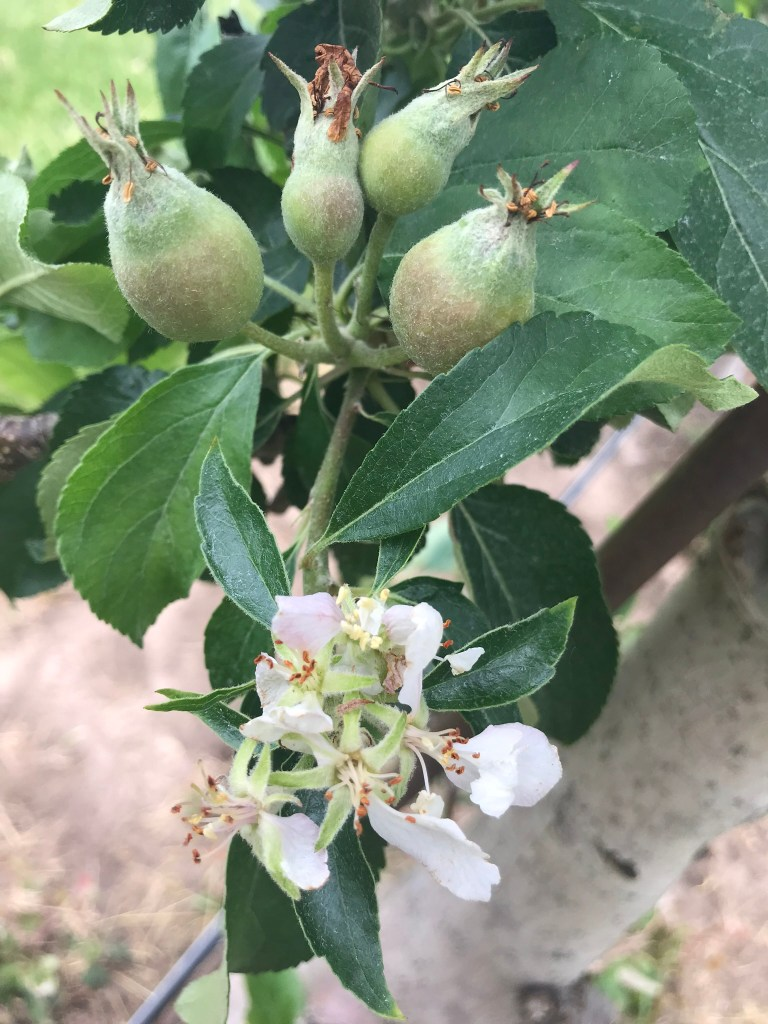 Secondary bloom adjacent to developing fruitlets on apple branch