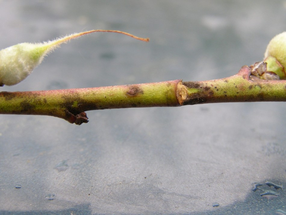 One year old peach shoot at fruit set showing darkened lesions around leaf scars.