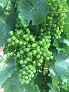 Chardonnay grapes hanging from a vine in Niagara-on-the-lake. The grapes are green and hang in clusters of 50 or more.