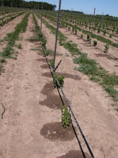 The photo shows rows of young grape vines planted in a field. The vines are small with leaves, and are being trained to grow vertically