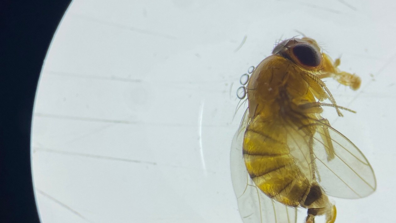 Female spotted wing drosophila showing serrated ovipositor that allows eggs to be laid through the skin of intact fruit
