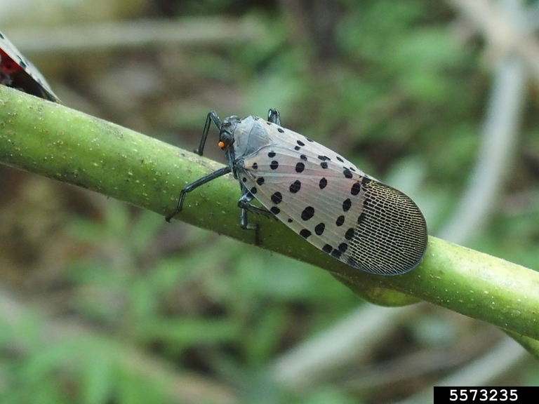 Spotted lanternfly adult on a piece of vegetation with wings folded over it's body.