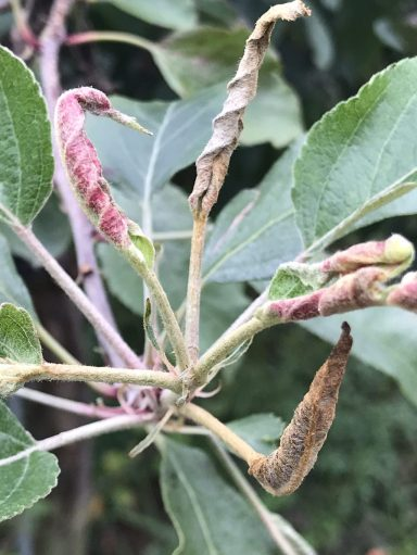 Shoot of an apple tree infested with leafcurling midge. Terminal leaves are rolled inwards towards midvein and pink in colour.