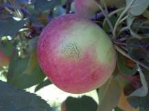 Figure 2. Fly speck on apple