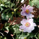 10-21-14 Anemone blossoms - fading