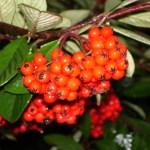 11-21-14 Cotoneaster berries CU