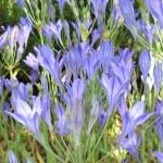 Brodiaea, California Cluster Lily