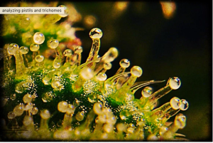 cannabis-trichomes-magnified