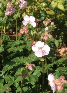 Ground cover geranium