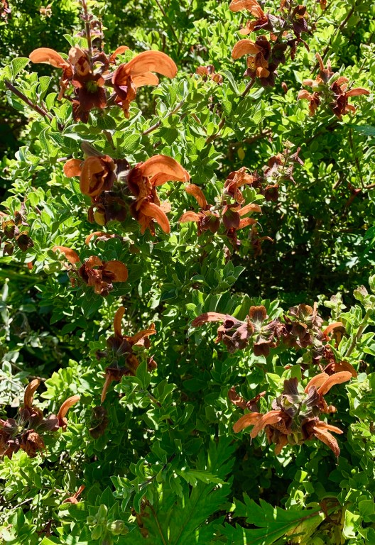 Salvia shrub