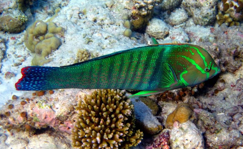 Le meilleur du snorkeling aux maldives la girelle reine