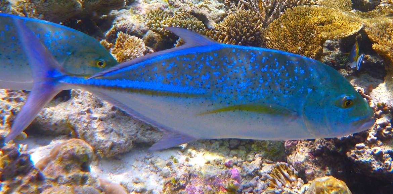 Snorkeling aux maldives sous le regars menaçant des carangues