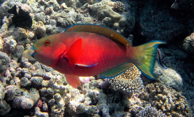 Poisson-perroquet trouvé en snorkeling pendand des vacances aux Maldives